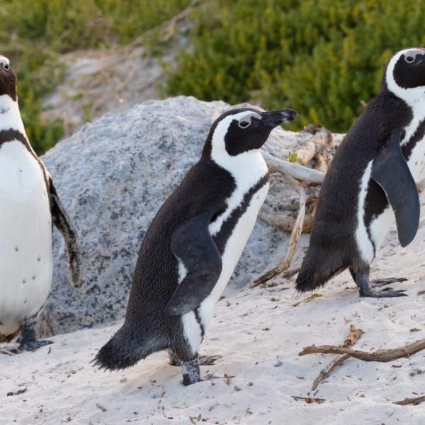 Méhek végeztek hatvanhárom veszélyeztetett pingvinnel Dél-Afrikában