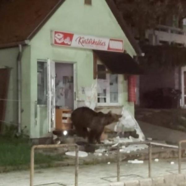 Tusványos: panzióba, boltba törtek be, városházát látogattak a medvék