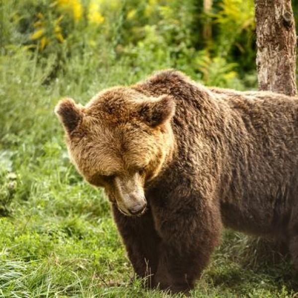 Pásztorokra támadt egy medve Csíkban - egyikük meghalt, másikuk súlyosan megsebesült